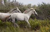 image of wild horse running  - Beautiful white horses running in the field - JPG