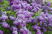 picture of lilac bush  - Branch of lilac flowers with green  leaves, floral natural background, soft focus ** Note: Shallow depth of field - JPG