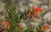 Bright Spring Flowers Grevillea Fireworks Australian Native Plan