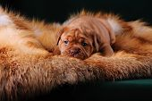 stock photo of dogue de bordeaux  - Puppy of Dogue de Bordeaux French mastiff - JPG