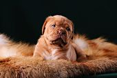 foto of dogue de bordeaux  - Puppy of Dogue de Bordeaux French mastiff - JPG