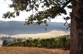 Morning Vineyard