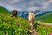 picture of dairy cattle  - Cattle on a mountain pasture. Summer sunny day