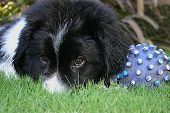 image of newfoundland puppy  - george - JPG