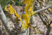 picture of lichenes  - Yellow lichen and some fresh leafs on a tree trunk - JPG