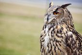 image of owls  - Eagle Owl - JPG