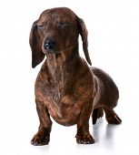 foto of eye-wink  - miniature smooth dachshund with both eyes closed on white background - JPG