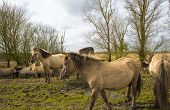 pic of herd horses  - Herd of horses in nature in a cloudy spring - JPG