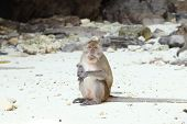 image of macaque  - Monkey beach - JPG