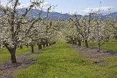 picture of hoods  - Field of apple trees bloom in Hood River Oregon. ** Note: Soft Focus at 100%, best at smaller sizes - JPG