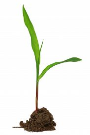 stock photo of photosynthesis  - Close uo of Corn seedling over white background - JPG