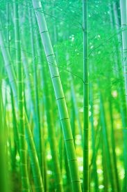 image of bamboo  - Beautiful bamboo forest - JPG