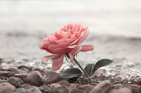 stock photo of sympathy  - one rosy rose flower at the stony beach soft water background - JPG