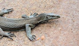 pic of goanna  - Large monitor lizard in nature - JPG