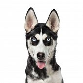 Close-up of a Siberian Husky panting, 7 months old, isolated on white poster