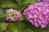 Pink Hortensia Plant