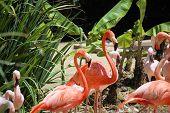 Caribbean Flamingo #3