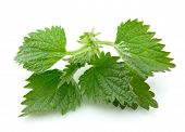 Nettle Cliose Up