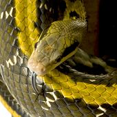picture of snakehead  - Rat snake in front of a white background - JPG