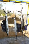 Sailfish catch hanging from marlin fishing tourney trophy