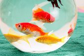 fishes in a round glass bowl red carps green background, pets