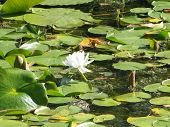stock photo of missles  - A single white lilly in the missle of a pond of lilly pads - JPG