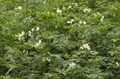 Flowering Potato Plants
