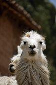 Peruvian Llama