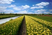 Tulips, Lisse Netherlands
