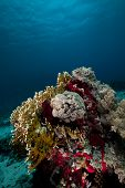 Net Fire Coral And Fish In The Red Sea.