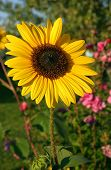image of rose sharon  - sunflower in full bloom with rose of sharon in background - JPG
