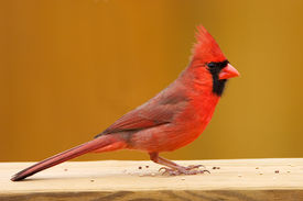 picture of cardinal-bird  - male cardinal sitting on a wooden rail with seeds - JPG