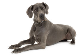stock photo of great dane  - Grey Great Dane lying down in front of white background - JPG