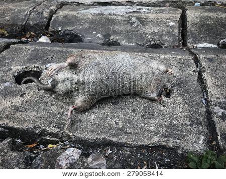 Dead Rat Over The Drain