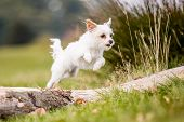 A Cute White Chorkie Puppy Jumping Over A Fallen Tree. A Yorkshire Terrier And Chihuahua Cross Dog I poster