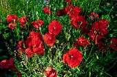 Flower Of Red Poppy In A Field Of Poppies. Flower Of Red Poppy In The Field Among The Grass. A Bee C poster