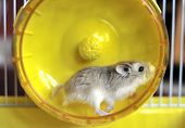 A hamster exercising in a bright spinning wheel