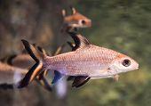 Silver Shark - Bala Shark Fish Swimming Fish Tank Underwater Aquarium - Balantiocheilos Melanopterus poster