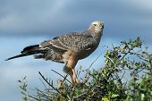 image of goshawk  - Young Pale Chanting Goshawk bird of prey perched on top of a tree  - JPG