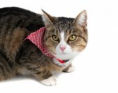pic of snoopy  - sweet cat with bandana on white background - JPG