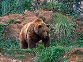 Eurasian brown bear (Ursus arctos arctos), also known as the European brown bear poster