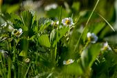 Strawberry Flowers. Blooming Strawberries. Beautiful White Strawberry Flowers In Green Grass. Meadow poster