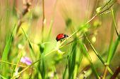 Pope ladybug