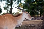stock photo of eland  - Common eland  - JPG