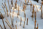 Dry Short Stalks Protruding From The Snow As A Rhythm And Abstraction poster