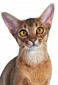 Abyssinian kitten. Age - 7 month