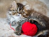 Beautiful Persian Kitten Cat Is Playing With Red Ball Of Knitting poster