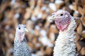 Turkey On A Farm , Breeding Turkeys. Turkeys On The Farm Yard In The Village poster