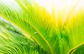 Green Leaves And Sun In Spring Green Leaves On A Background And Sunshine. Sun Rays In Green Leaves O poster