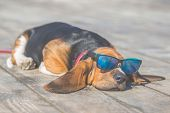 Little Sweet Puppy Of Basset Hound With Long Ears Lying On A Wooden Floor And Rests - Sleeps. Puppy  poster